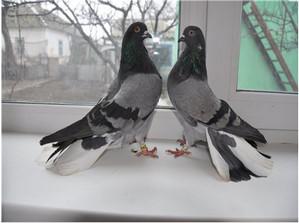 Николаеская порода голубей
