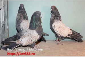 голуби кировоградские